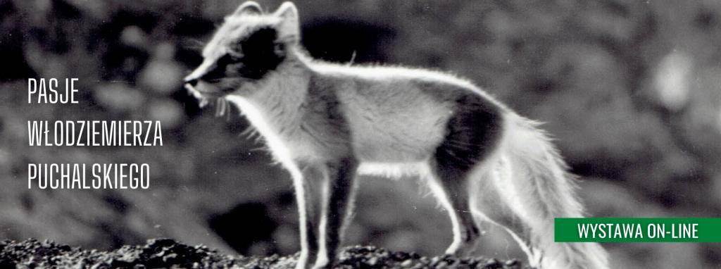 Lis polarny, zdjęcie zostało wykonane przez Włodzimierza Puchalskiego podczas pobytu na Spitsbergenie